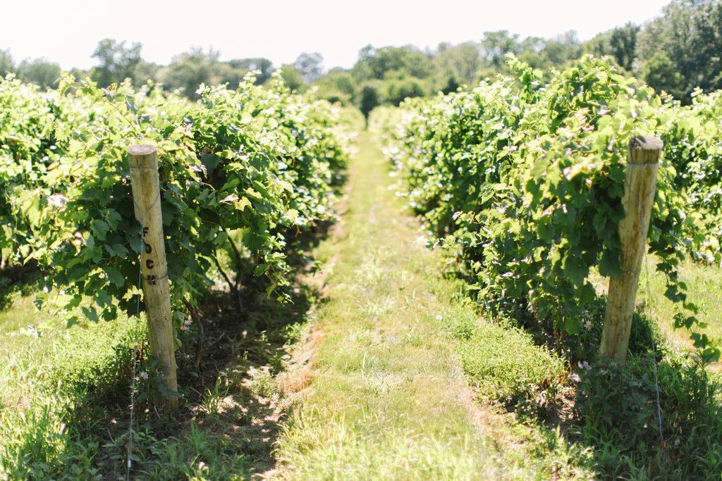 Vineyards at a 12 Corners Vineyard Wedding