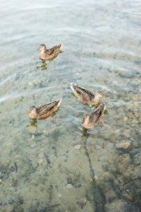 Ducks swimming in Gun Lake in Shelbyville, Michigan
