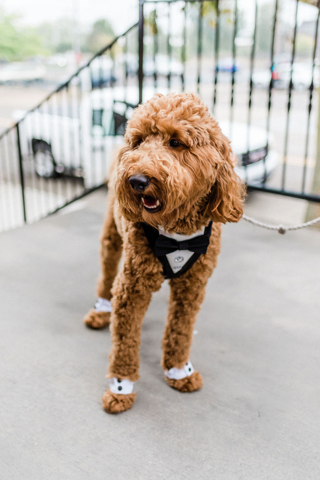 A ring bearer dog